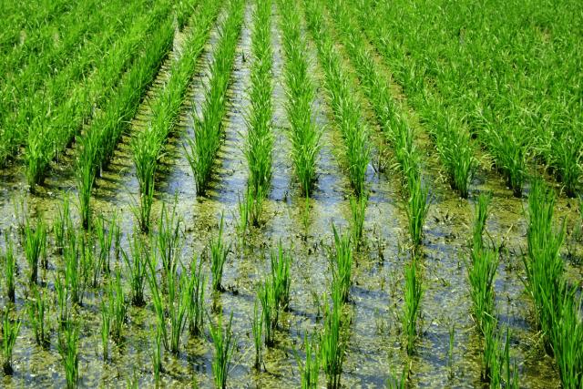arroz Alto do Marins São Paulo