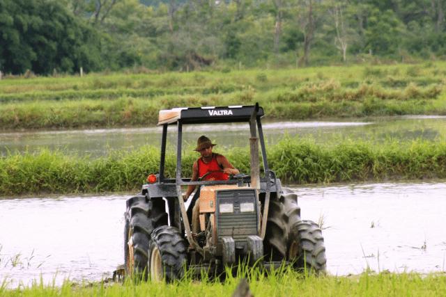 colheita arroz Alto do Marins