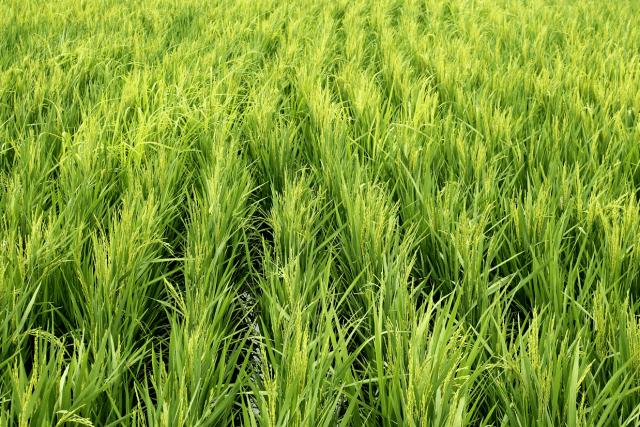 arroz Alto do Marins