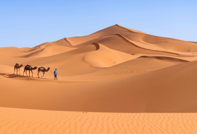 Camelos deserto do Saara